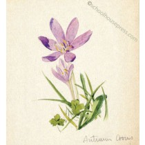 Canvas Print - Autumn Crocus