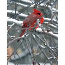 Canvas Print - Cardinal