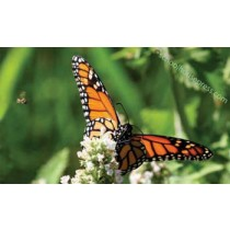 Canvas Print - Monarch and Bee