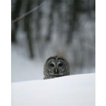 Canvas Print - Owl behind Snow