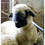 Black Nose Sheep