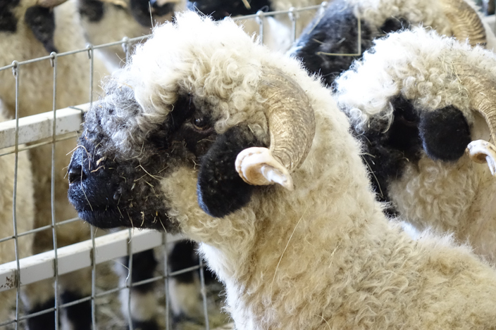 Black Nosed Sheep Close Up