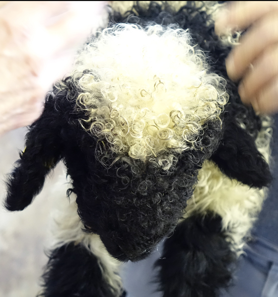 black nosed lamb