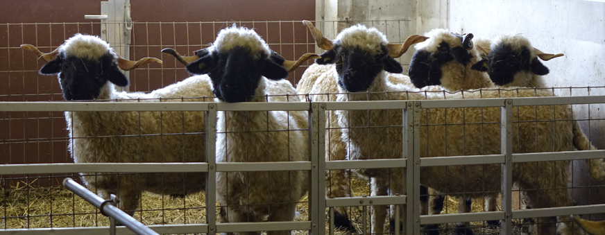 several black nosed sheep in barn